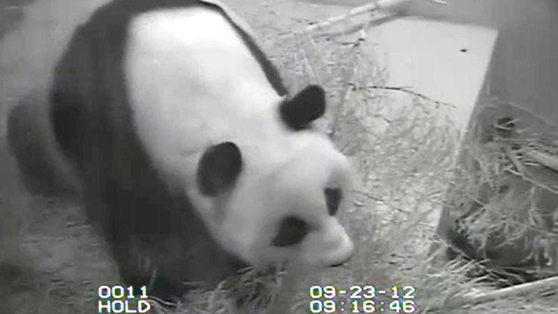 Illustration for article titled Government Shutdown Forces National Zoo To Turn Off Panda Suicide Cam