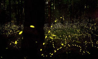 Illustration for article titled How do fireflies light up?