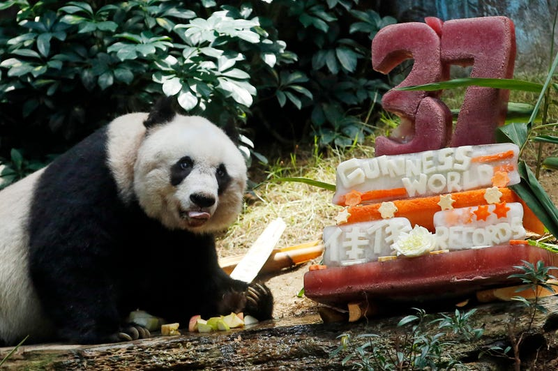 """Illustration for article titled """"Oldest Panda"""" Celebrates With an Ice-Sculpture Cake and World Records"""