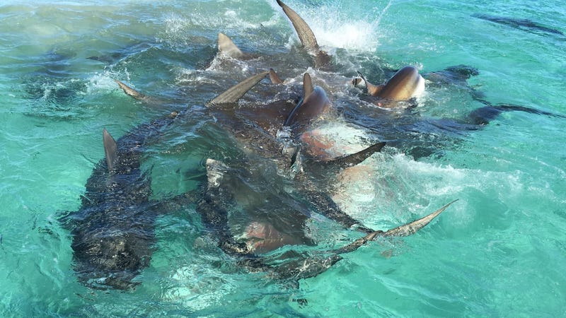 70 tiburones devoran una ballena en este vídeo espectacular capturado por un dron