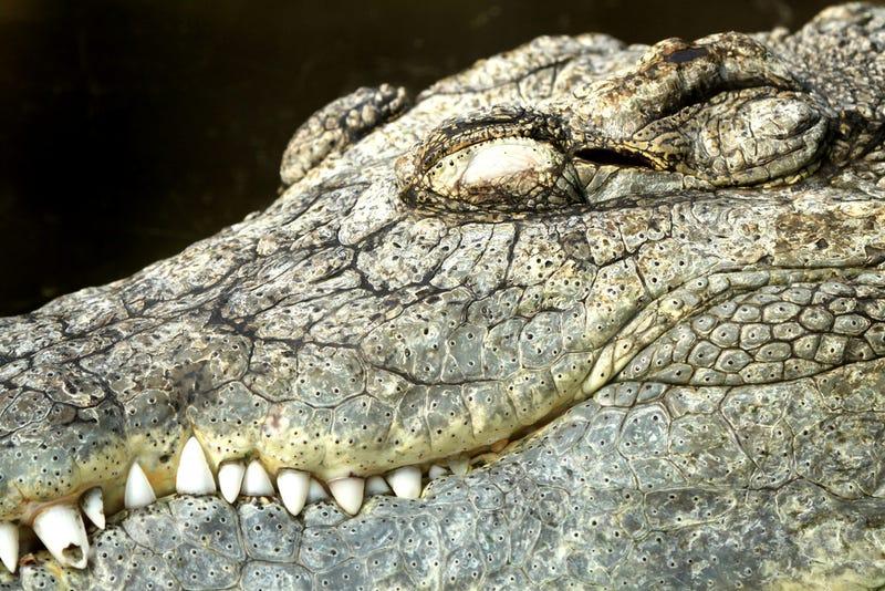 Illustration for article titled Krokodil: Russia's Designer Drug That Will Eat Your Flesh