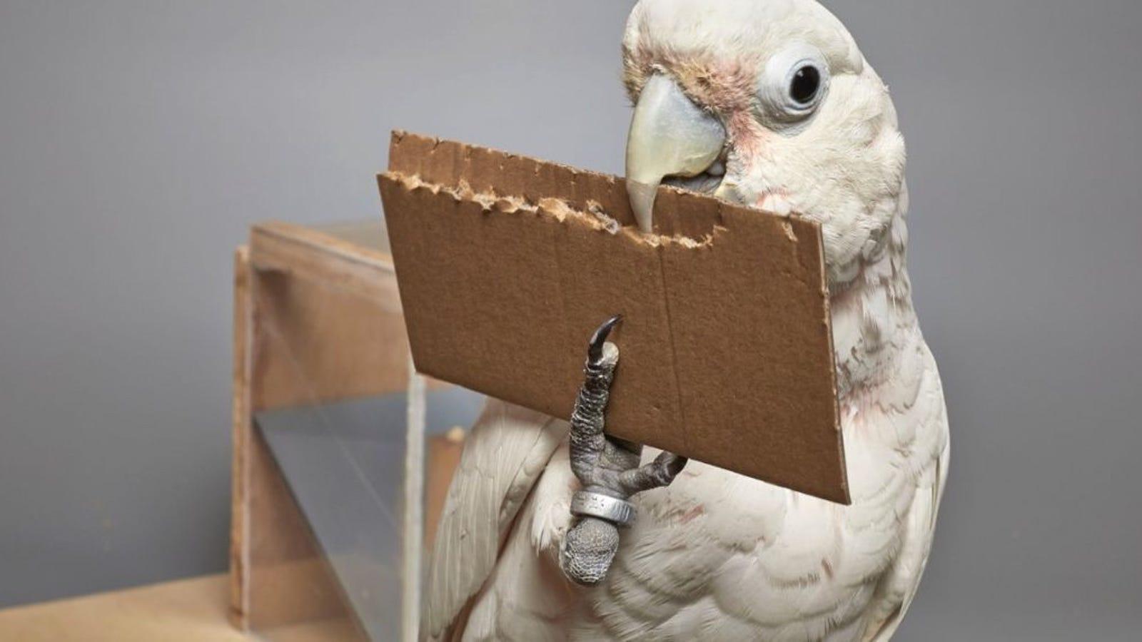 Los científicos están fascinados con esta cacatúa que fabrica herramientas de distintos materiales