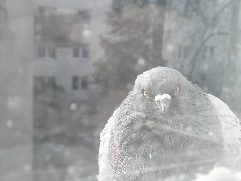Illustration for article titled Nem ijesztgetésből, de feltűnt, hogy egyre nagyobbak a városi madarak?