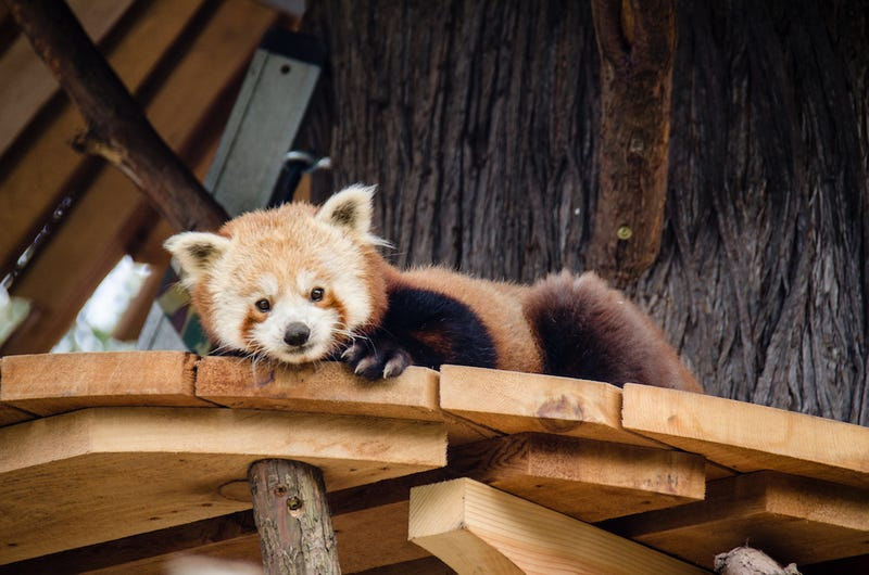 Illustration for article titled Exclusive Photos of the San Francisco Zoo's New Red Panda