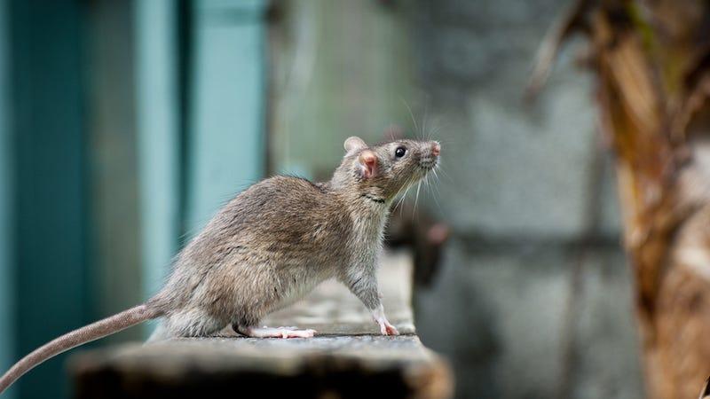 Illustration for article titled Científicos logran despertar y dormir el cerebro de una rata mediante pulsos láser