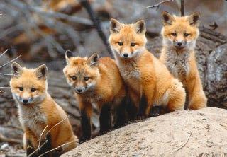 Illustration for article titled Tudod, mi volt az a pokolbéli sikoly? Egy róka!