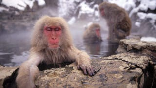 Illustration for article titled Monkeys can count...but not on an empty stomach