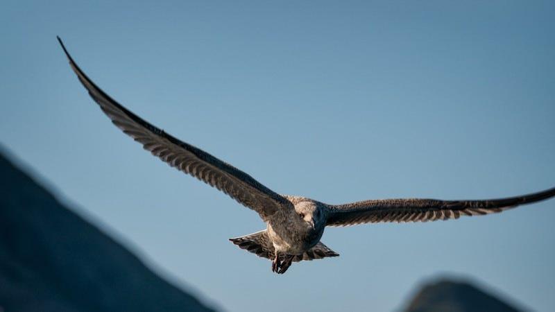Al parecer, las águilas no suelen considerar los costes de roaming cuando están en migración.