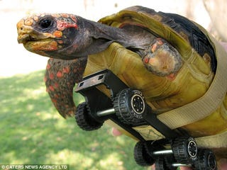 Illustration for article titled Tonka the Bionic Tortoise Gets Wheels Upgrade, Kicks Hares Ass in a Race