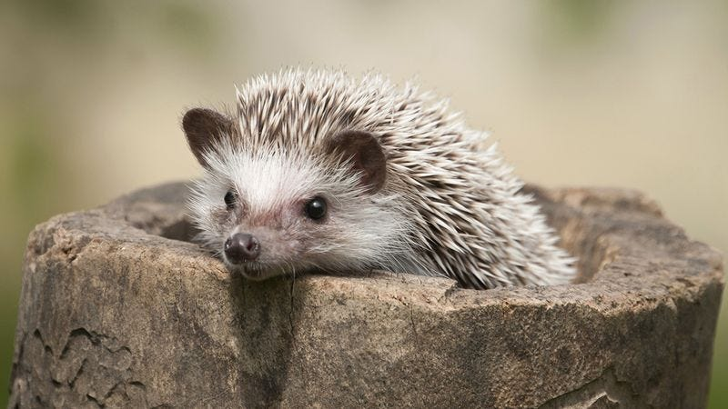 Illustration for article titled These Hedgehogs Are Fine, But Might We Suggest Some Hedgehogs For The More Discerning Visitor?