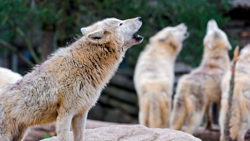 Illustration for article titled A wolf howl is the ultimate sign of respect (if you're a wolf)