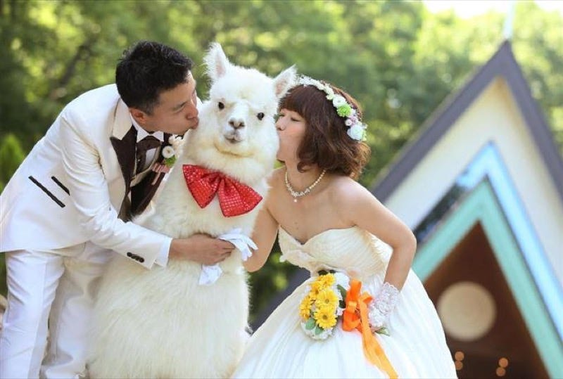 Illustration for article titled Unusual Japanese Wedding Plan: Get Married with an Alpaca