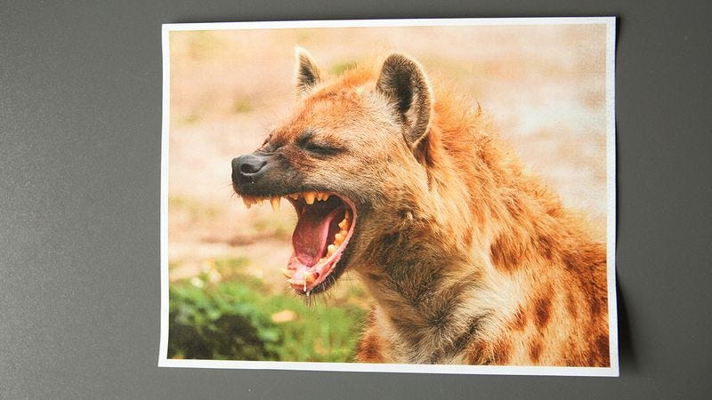 Illustration for article titled These Awesome Photos Of Hyenas That Someone Keeps Mailing Us Will Absolutely Blow You Away