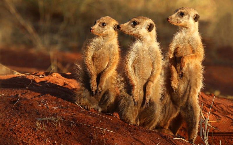 Tres suricatos, esperando con ansiedad el banquete de San Valentín.