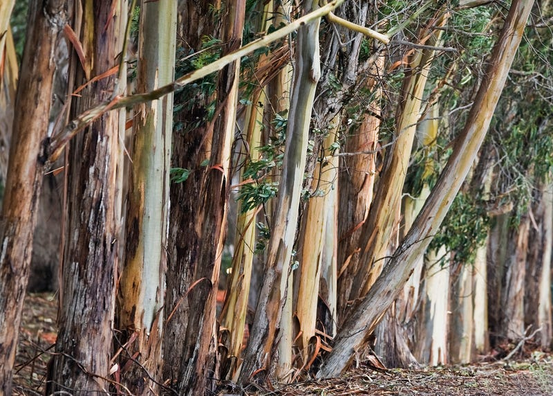 Eucalyptus Trees in the Morro Bay State Park Marina parking lot, CA. flickr/Mike Baird