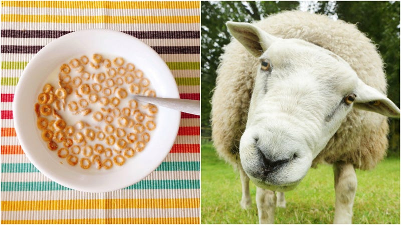 Illustration for article titled Is there sheep's wool in your breakfast cereal?