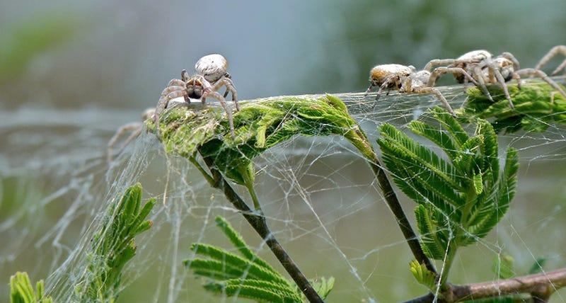 Velvet spiders. (Image: Bernard Dupont/Flickr)