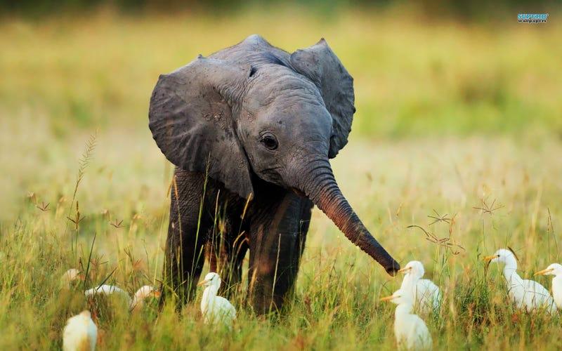 Illustration for article titled Baby Elphant Break