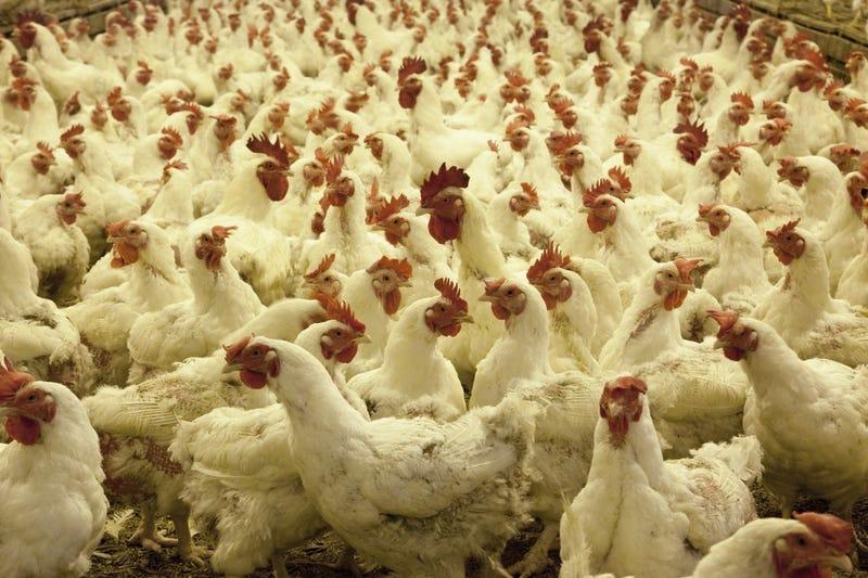Illustration for article titled Un hombre busca desesperadamente un hogar para las 1.000 gallinas que compró por error en Internet