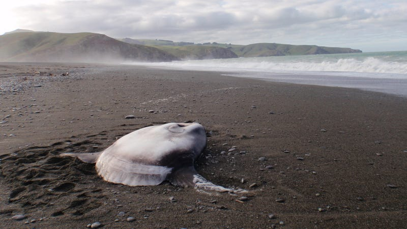 Mola tecta stranded on Birdlings Flat south of Christchurch, New Zealand, May 2014. (Image: Marianne Nyegaard)