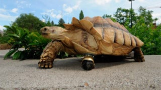 Illustration for article titled Tortoise Gets Chair Wheel Prosthesis to Replace Missing Leg