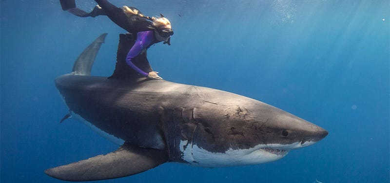 Illustration for article titled Astonishing images of a diver swimming on top of great white sharks