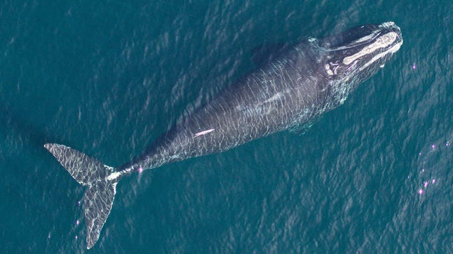 North Atlantic Right Whales Are Shrinking, and It's Our Fault