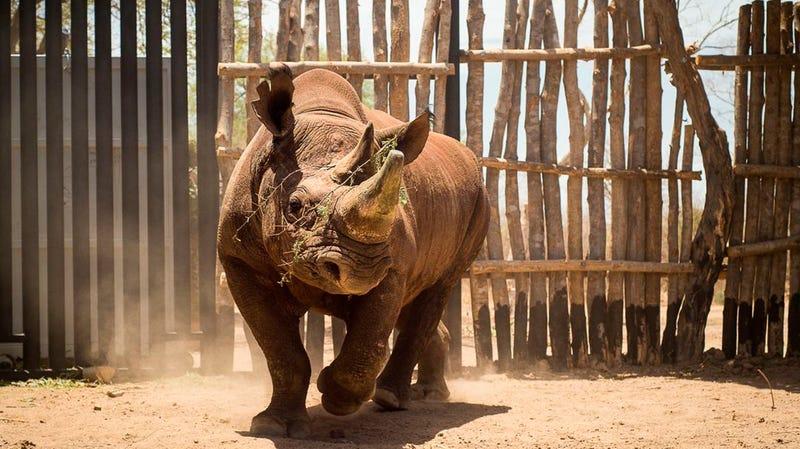 A black rhino in Zakouma National Park in Chad