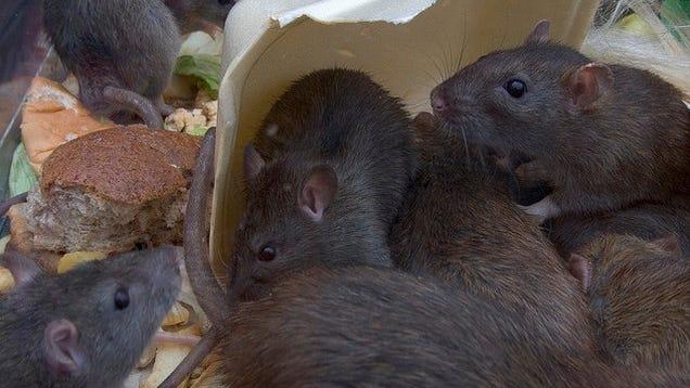 recipes   post apocalypse     eat rat meat