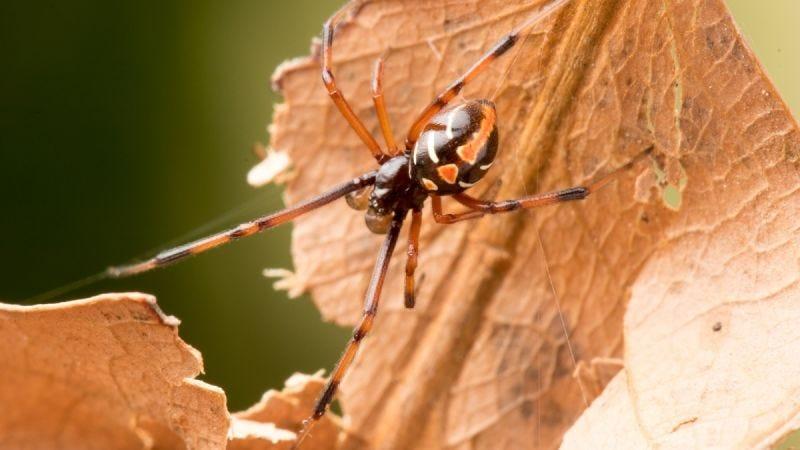 Una araña viuda negra