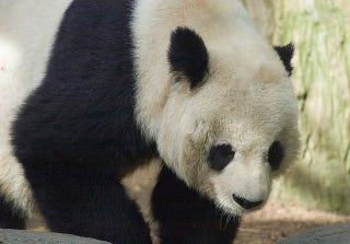 Illustration for article titled Az ellenzék támadja a miniszterelnököt, mert pandákat hozatott magának