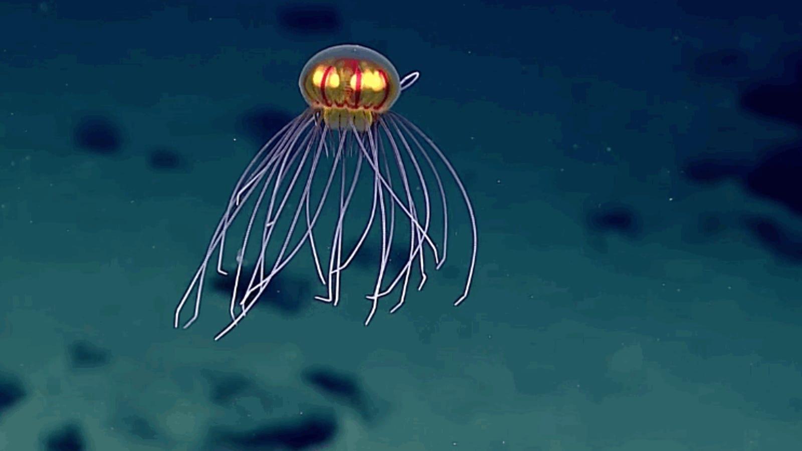Esta nueva especie de medusa hallada en la fosa de las Marianas parece salida de otro planeta