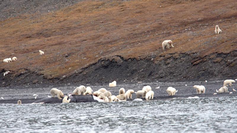 """""""No hay palabras para describirlo"""": turistas encuentran cientos de osos polares devorando el cadáver de una ballena"""