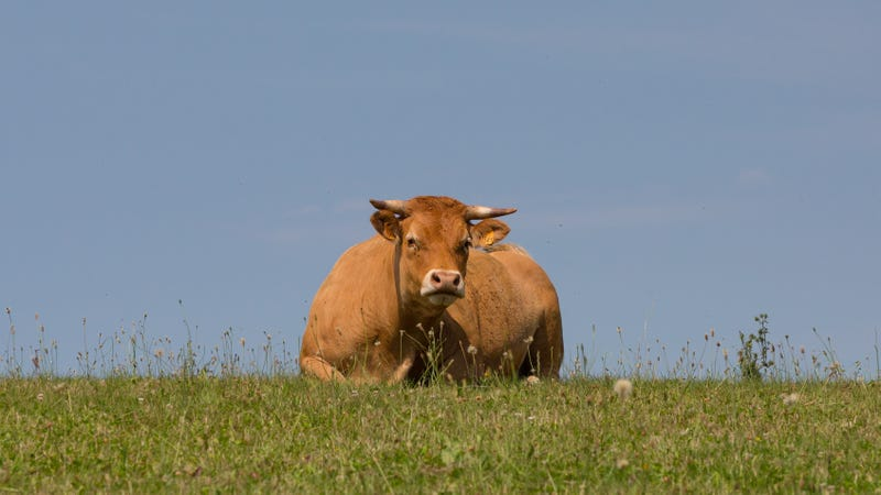 A Limousin cow, but not that Limousin cow