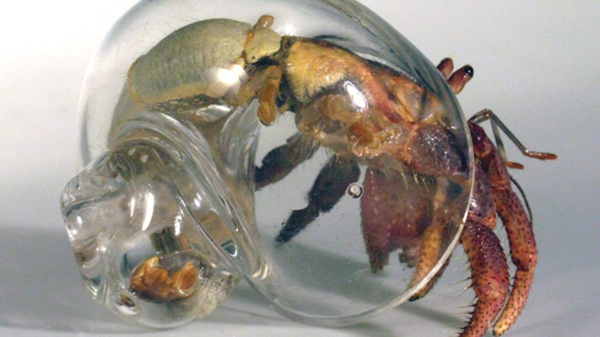 Naked hermit crabs