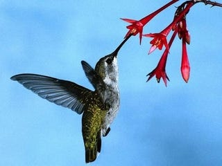 Illustration for article titled The Green-Tailed Hummingbird is disappearing for reasons far weirder than you thought