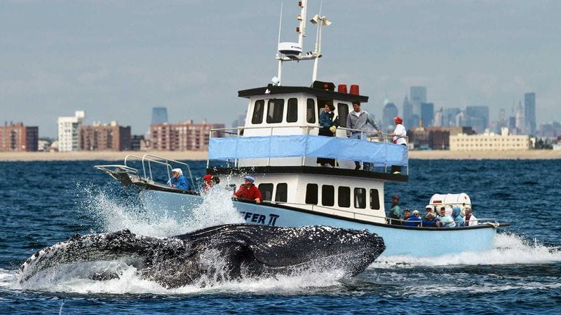 Boston Cruise Line Introduces New Whale Ramming Tour - Whale cruise ship