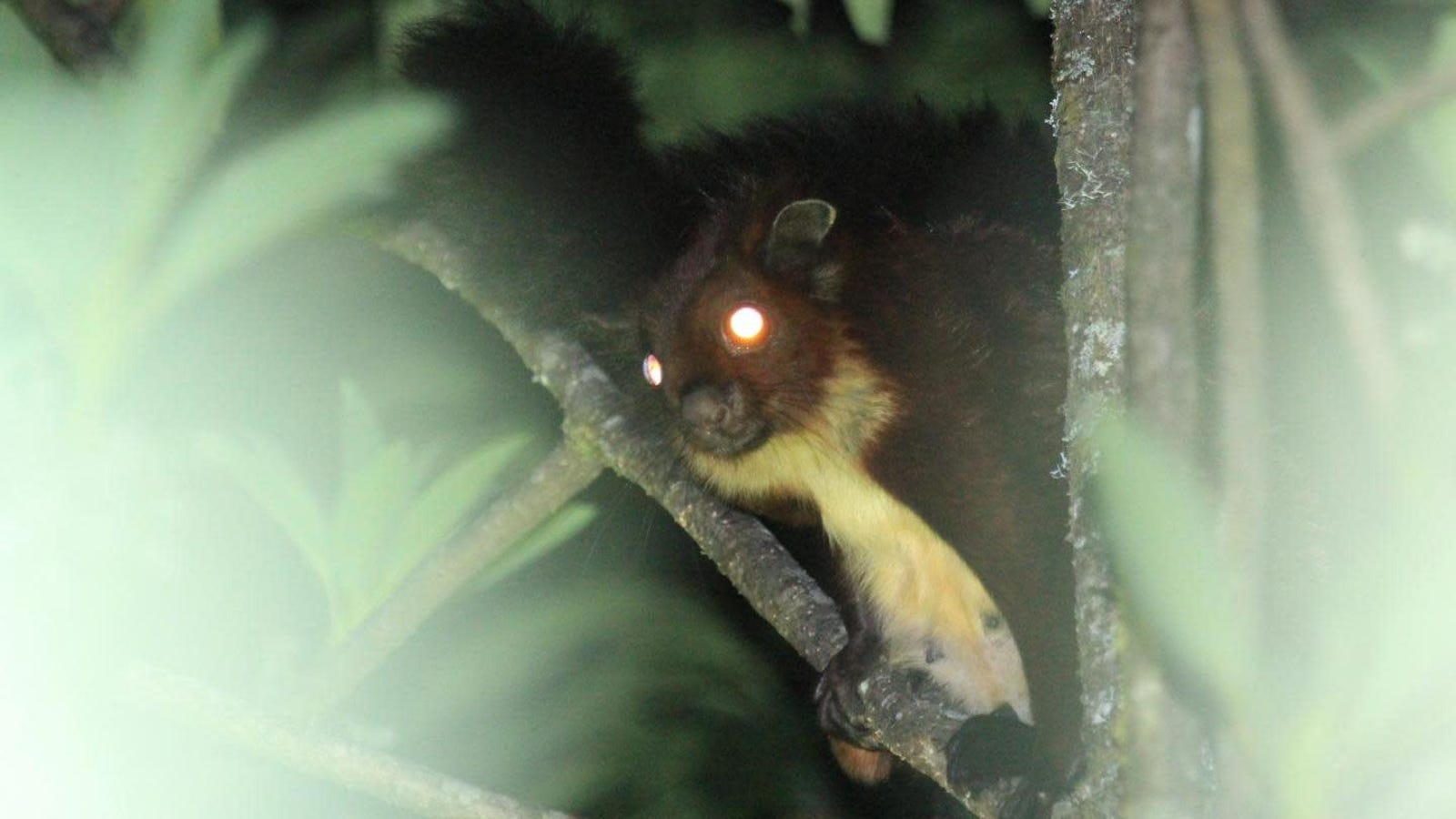 Adorable New Species of Flying Squirrel Discovered in China