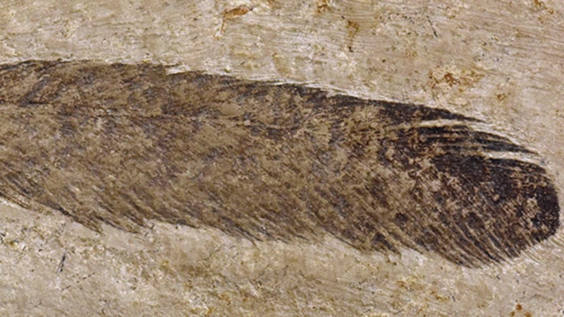 Found in Germany in 1861, this is the first fossil feather ever discovered.