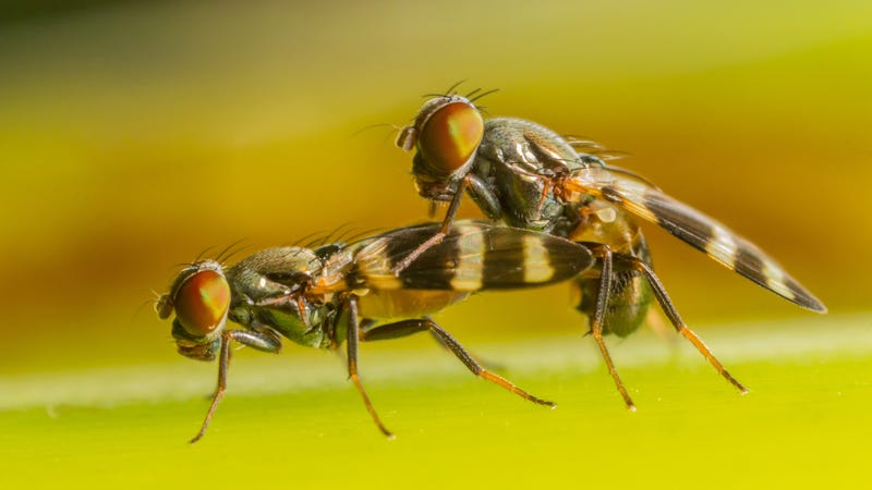 Fruit flies undergo a prelude of dances prior to mating. The dance begins when the male approaches the female slowly and vibrates his legs on her head.