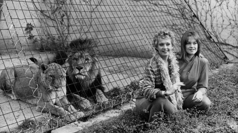 Illustration for article titled It Was the Seventies! Tippi Hedren Once Kept Lions as Pets
