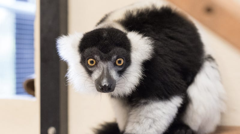 Hermione, a black and white ruffed lemur, awaits Hurricane Florence from the safe confines of an indoor housing unit.
