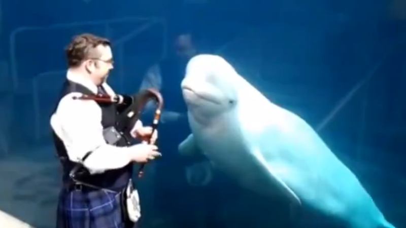 Illustration for article titled This Video of Belugas Jamming out to Bagpipes Is Almost Too Much