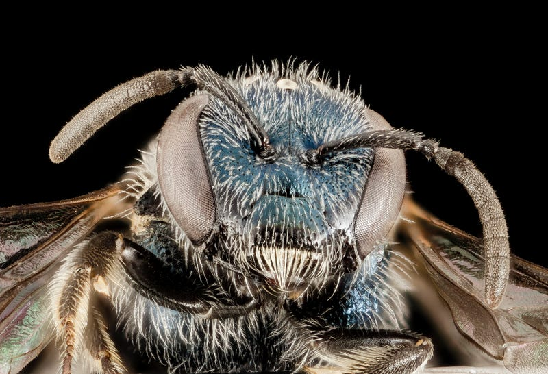 These Exquisite Bee Photographs Reveal Every Delicate Hair, Antenna, and Wing