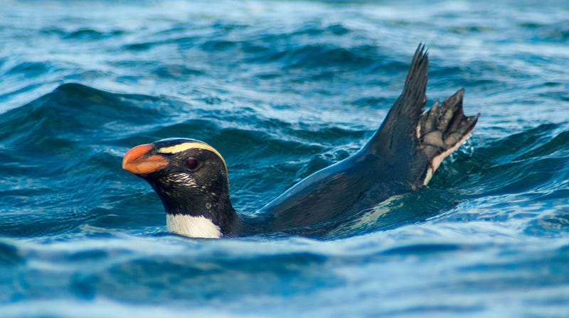 A Tawaki penguin at sea. During their annual migrations, these aquatic birds can swim upwards of 50 miles (80 kilometers) each day.