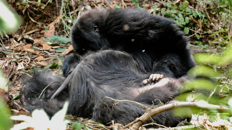 A young mountain gorilla inspects the body of his mother for several hours after she died in Volcanoes National Park, Rwanda.