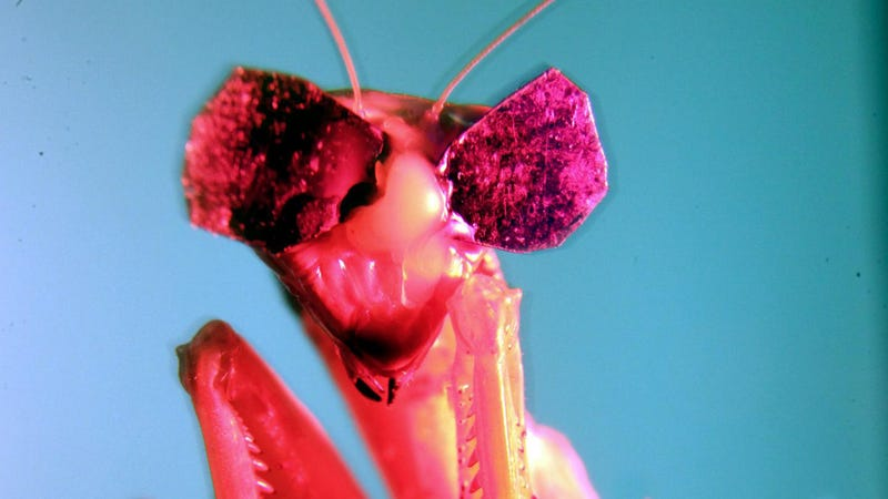 Illustration for article titled Scientists Gave Praying MantisesTiny 3D Glasses to Prove TheyHave 3D Vision
