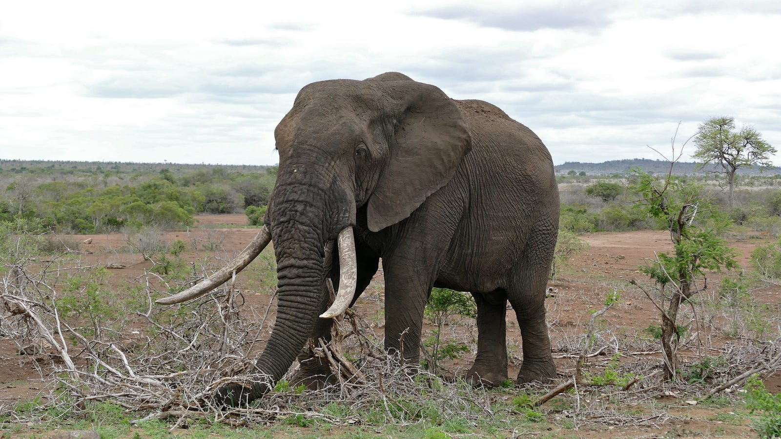 When Will the Great Human-Elephant War End?