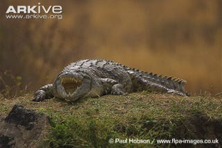Illustration for article titled Nile Crocodiles Confirmed in the Everglades