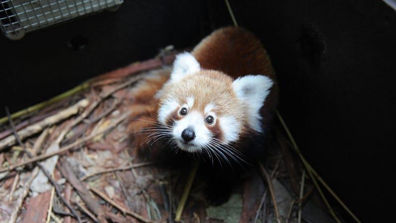 (Photo: Getty Images/Taronga Zoo, Peter Hardin)